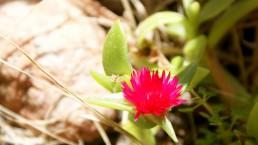 art macrophotographie fleur rose